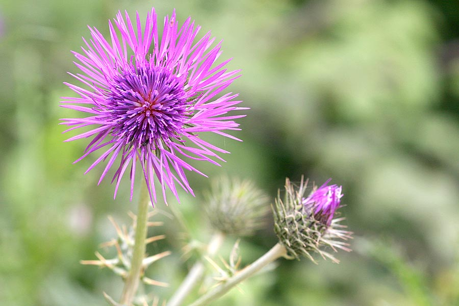 Boar Thistle | East London Nature